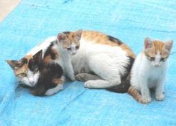 子猫たちに乳を与えている姉猫のスモモ